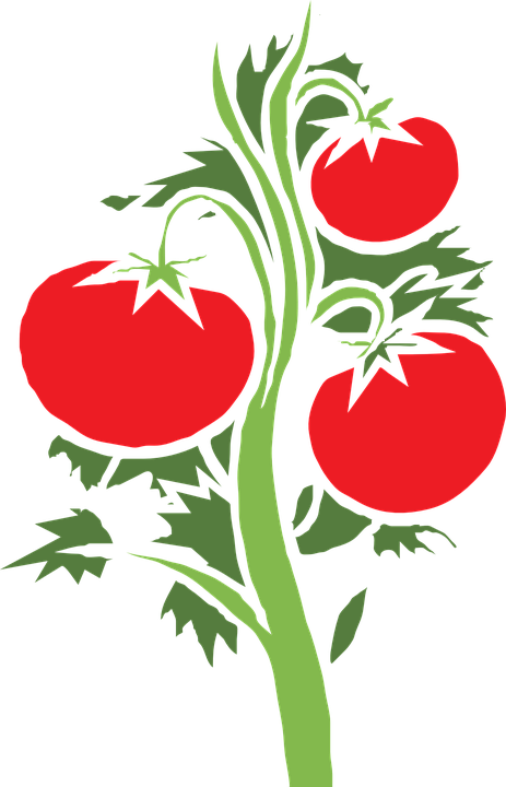 tipps tomaten